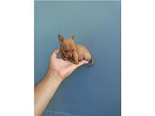 Toy Chihuahua Macho Brown Listo Ya!!