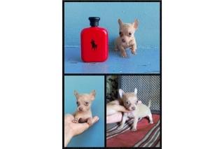Pocket Chihuahua Macho Crema De Buena Calidad Llame Ya!!