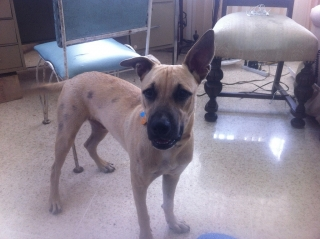URGENTE- Puppy de 7 meses para adopción