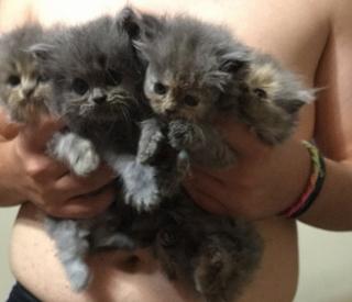Se venden gatitos Persas