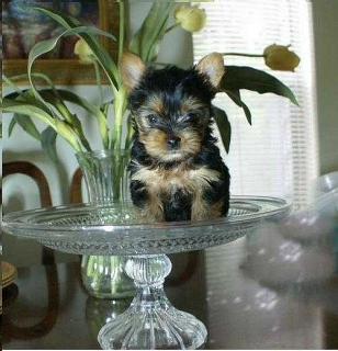 AKC Registered Teacup Yorkie Puppies Text Me on 786 701-1066