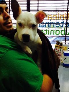 gratis puppy pitbull c/ vacunas y desparacitado