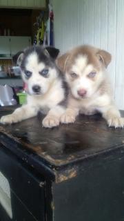 Vendo dos perritas siberian husky un mes de nacidas