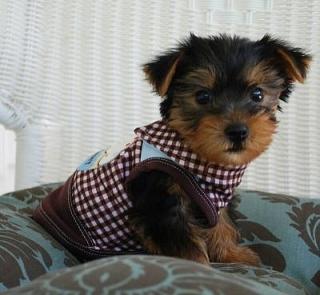 Yorkie cachorros para la adopción