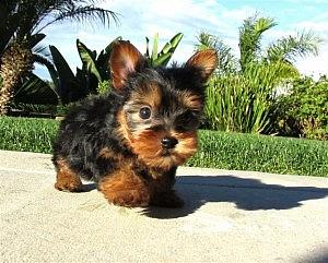 Los cachorros Teacup Yorkie para la adopción