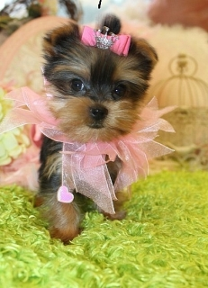 2 Charming AKC T-Cup Yorkie puppies