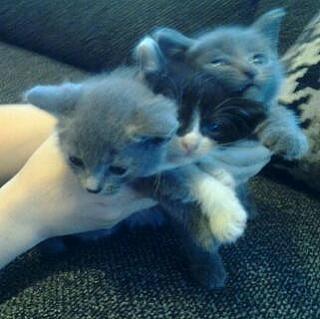 Para adopción  2 gatitos Russian Blue y 1 Blanco y Negro