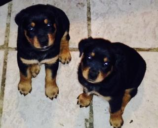 Venta Puppies Rottweiller Big Bone Puro