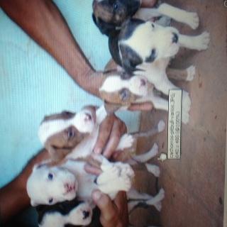 Vendo Cachorros de Perro Pitbul Blue Nose