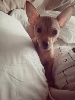 Chihuahuas toy puro