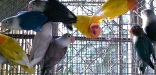 VENTA DE LOVEBIRDS ANILLADOS VARIEDAD A ESCOGER