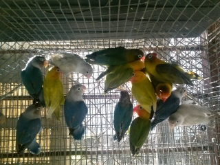 LOVEBIRDS ANILLADOS VARIEDAD VEA