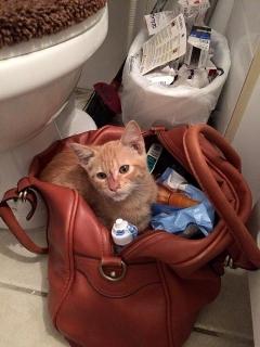 Gatito anaranjado para adopción!