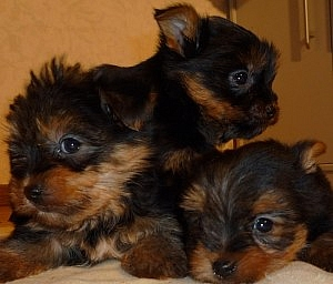 Three CKC Yorkie Puppies adoption