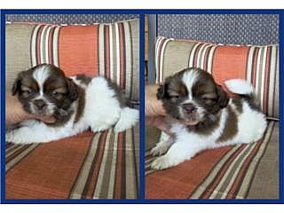 Shi Tzu Imperial Blanco Y Chocolate Hermoso!!!