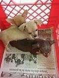 Vendo Chihuahuas hembra y macho