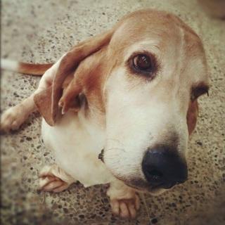 Basset Hound para adopción