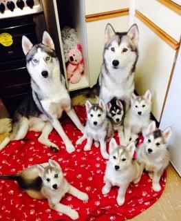 6 Impresionante siberiano Huskies listo para hogares para siempre