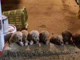 puppies Golden Retriever