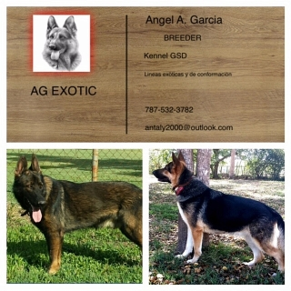 VENTA GERMAN SHEPHERD AKC