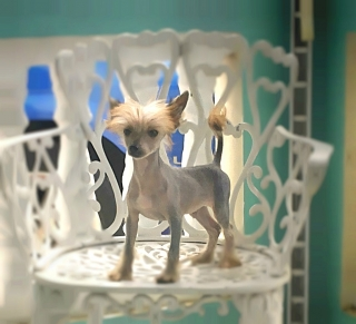 TOY CHINESE CRESTED!