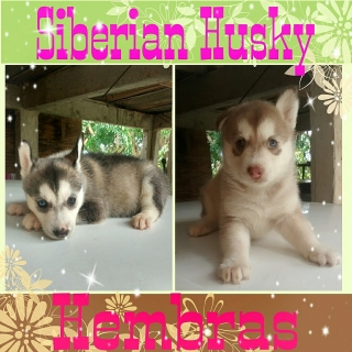 Siberian Husky Hembras