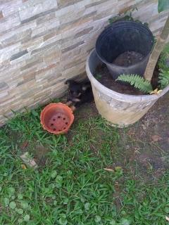 Chihuahua Hembra Pelo Largo (Long Haired)