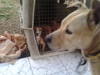 Adorables cachorritos pitbull