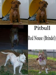 hermosa pitbull red nouse!