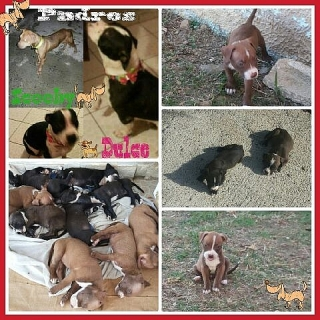 Pitbulls Puppies