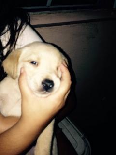 Labradores 1 Mes de Nacido(13 Marzo)