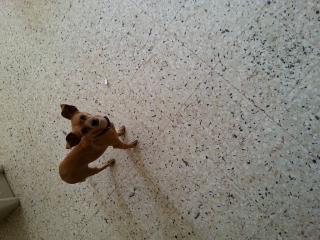 perrita chihuahua para adopcion
