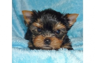 Yorkie Puppies Available for Free