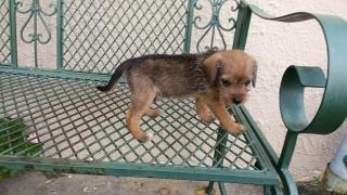 Busan hogan 5 perritos con 9 semanas de nacidos
