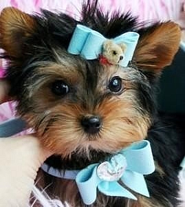 Yorkie puppies now available for adoption