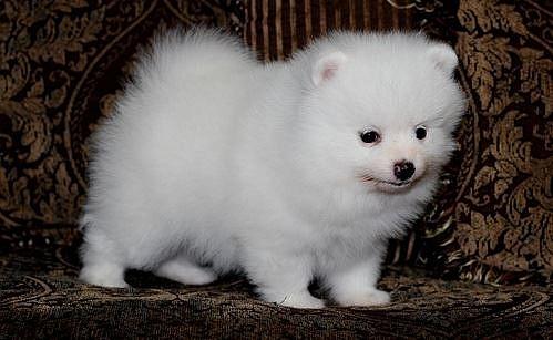 Perritos de Pomeranian blanco puro