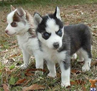 Perritos del husky siberiano de la calidad de prefecto