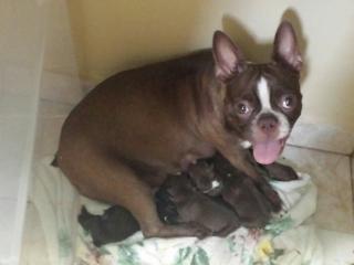 Boston terrier rojos nacidos 14 mayo