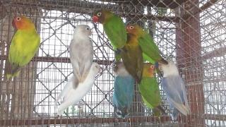VENTA DE LOVEBIRDS HERMOSOS COLORES GRAN VARIEDAD