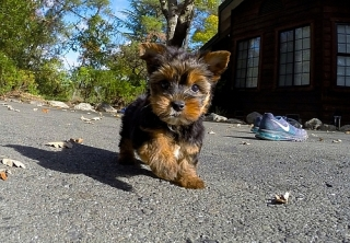 Teacup Yorkie Puppies for Re-homing.Y