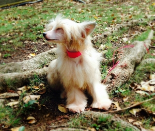 TOY CHINESE CRESTED.