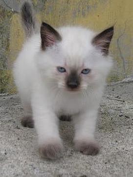 Hermoso gatito siames blue point