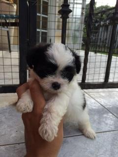 Hermoso puppy Shih Tzu