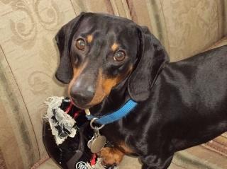 Se regala perro Dachshund de 8 años