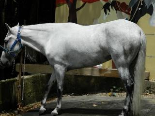 Yegua blanca mora
