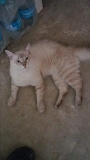 Gato Siames Tabby