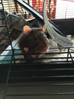 REGALO FANCY RATS