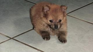 Bellos Puppies Pomeraneos