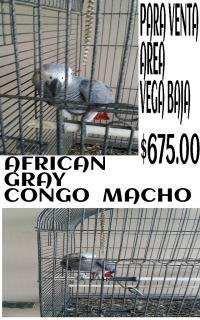 afican gray macho congo