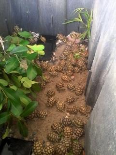 tortugas sulcatas bebes